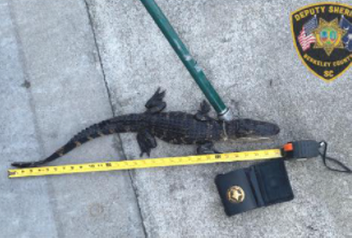 The alligator was confiscated by the SC Department of Natural Resources.