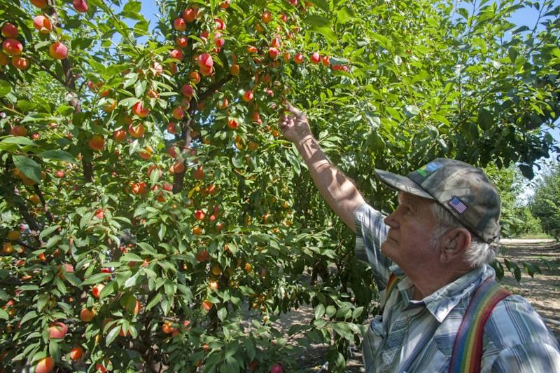 Floyd Zaiger examines an experimental plum-cherry hybrid at his test orchard in Modesto