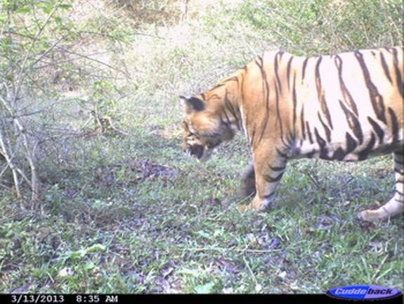 An adult male tiger photographed on March 13, 2013, in Kerala shortly after eating a gaur, an Indian bison.
