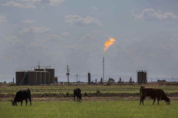 PHOTO: Cows graze on land near a gas flare in Loving, N.M., Aug. 31, 2019. (Bloomberg via Getty Images, FILE)