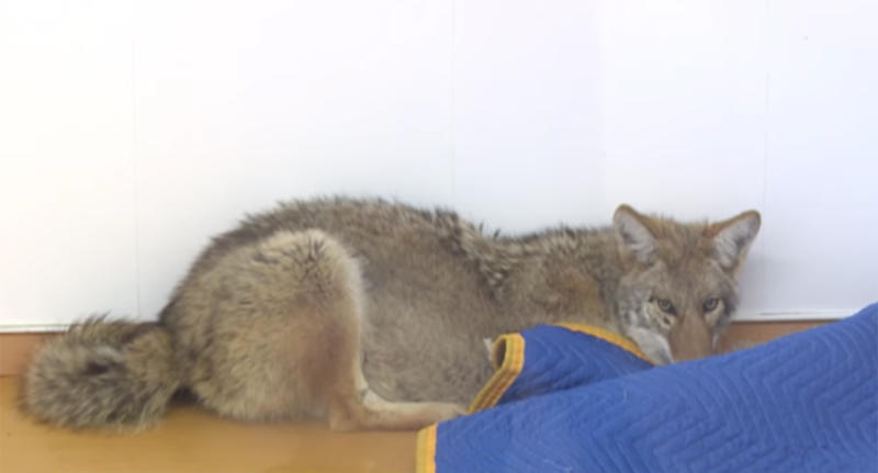 The injured coyote, pictured, was mistaken for a German shepherd.