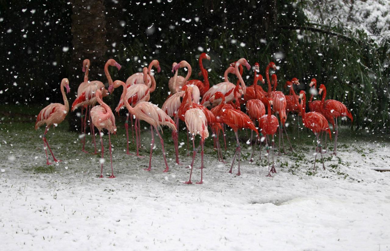 Flamingos stand in their enclosure during snowfall in winter in Jerusalem's Biblical Zoo December 12, 2013. REUTERS/Baz Ratner (JERUSALEM - Tags: ANIMALS ENVIRONMENT TPX IMAGES OF THE DAY)