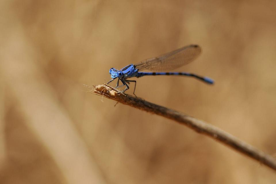 <p><strong>Vivid Dancer Damselfly</strong><br><br>These bright blue bugs certainly live up to their name. </p>
