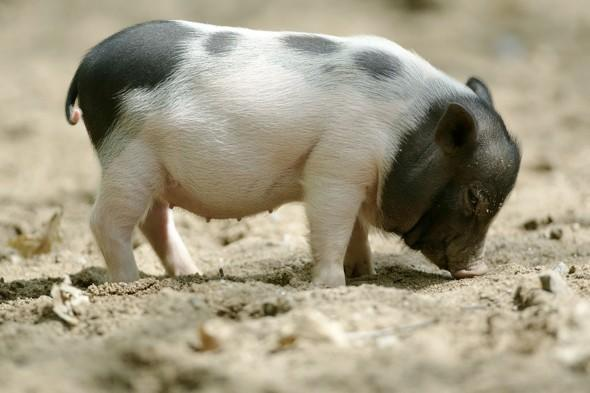 Pigs CAN fly: Passengers allowed pets on flights