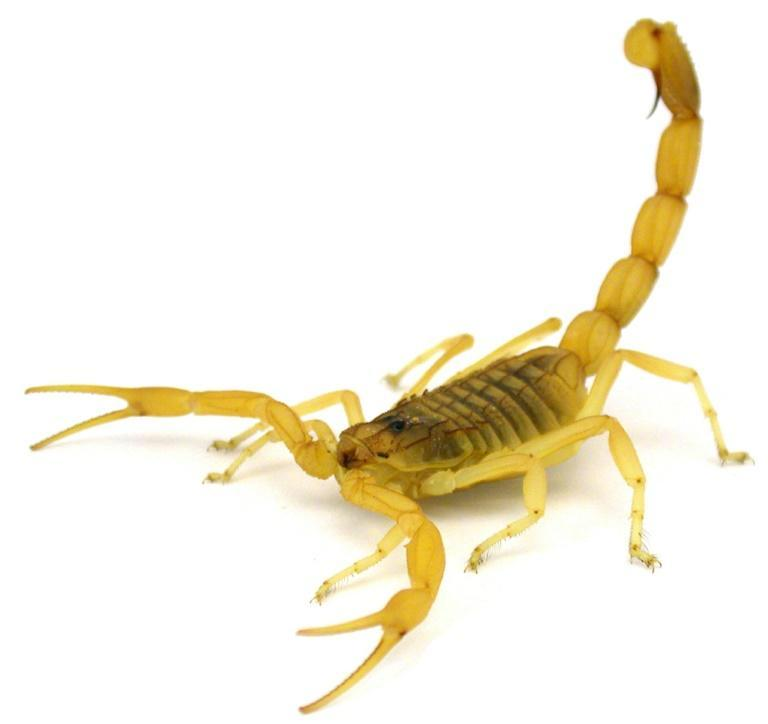 Scorpions use their defensive arsenal against bats, snakes, lizards and other predators