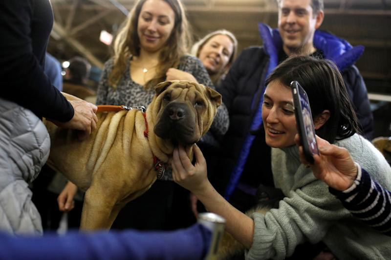 Nala, a Chinese shar-pei, is greeted during the AKC Meet the Breeds event ahead of the 143rd Westminster Kennel Club Dog Show in New York, Feb. 9, 2019. (Photo: Andrew Kelly/Reuters)