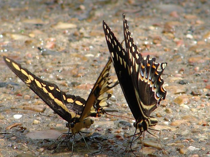 Butterflies on a pebbled pathway.
