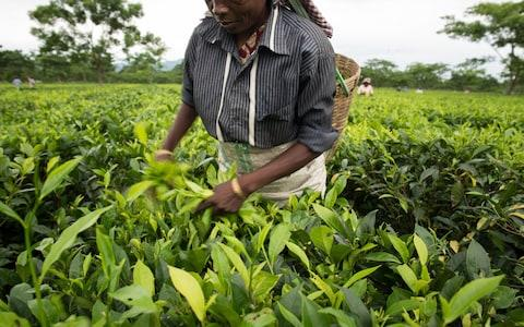 Poor pay and harsh working conditions are common on foreign farms and plantations that supply tea or fruit to UK supermarkets - Credit: Roanna Rahman/Oxfam