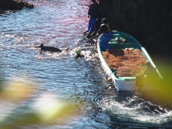 In Taiji, dolphins are corralled into a cove before being captured for aquaria or slaughtered (Whale and Dolphin Conservation )