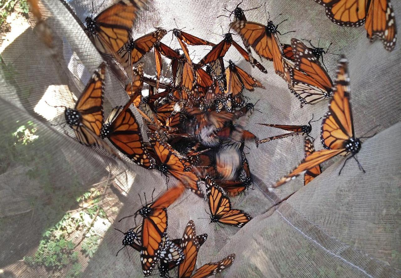 In this photo taken Feb. 15, 2013, Monarch butterflies are collected in a net to be tested for the ophroyocystis elektroscirrha parasite that inhibits their flight, at El Capulin reserve, near Zitacuaro, Mexico. Every year, millions of monarchs migrate from the eastern United States and Canada to central Mexico, a journey of over 2,000 miles. The tiger-striped butterflies arrive in late October and early November to hibernate in fir trees until February. The scientist is part of a research project conducted by the World Wildlife Fund of Mexico and the University of Georgia and University of Minnesota. (AP Photo/Marjorie Miller)