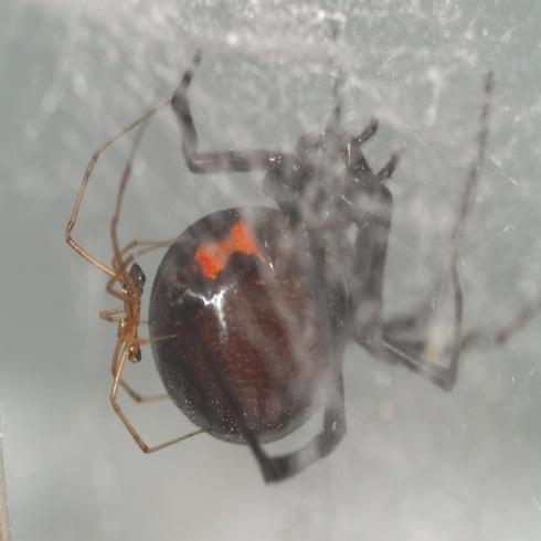Black Widow Spiders May Have Met Their Match