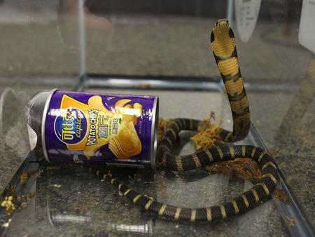A king cobra snake seen coming out of a container of chips in this udated handout photo