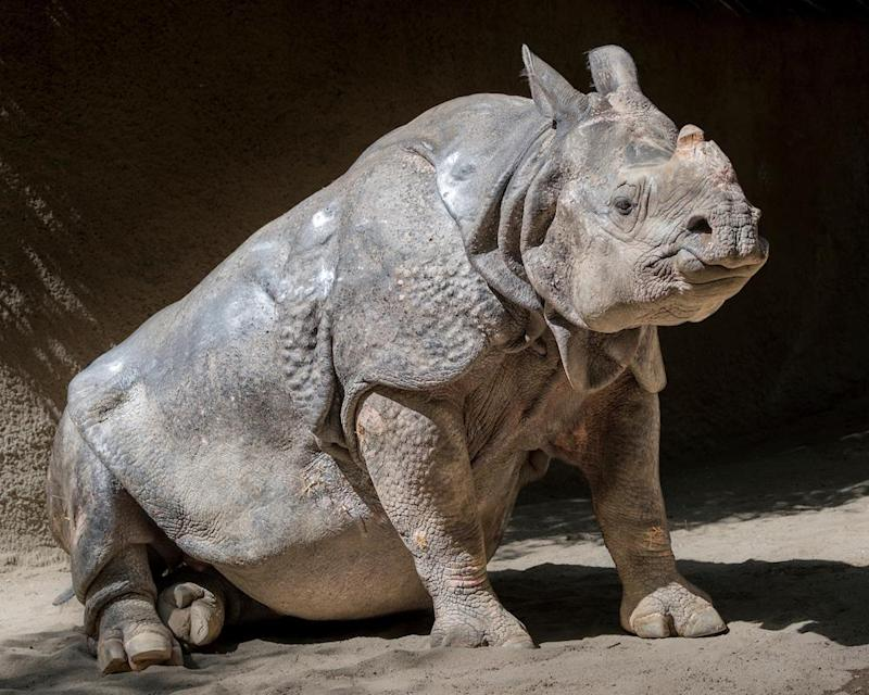 Randa's horn was removed at the age of 40 due to an aggressive skin cancer (Jamie Pham/Los Angeles Zoo via AP)