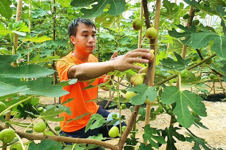 Fresh figs farmed in Malaysia. — Pictures courtesy of Figara11