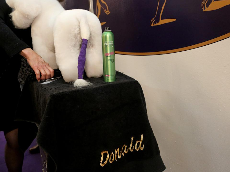 A bichon frise is groomed on the first day of the show.