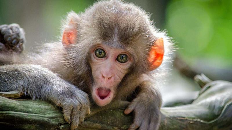Researchers have found that human and monkeys have similar thought patterns