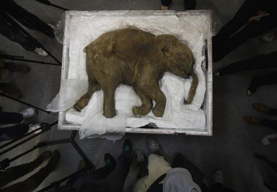 The carcass of a well-preserved baby mammoth, named Lyuba, is seen during a media preview in Hong Kong April 10, 2012. Lyuba, whose carcass is 40,000 years old, was found by a reindeer herder in Yamal Peninsula in Russia in 2007. She will be exhibited at IFC Mall in Hong Kong on April 12.