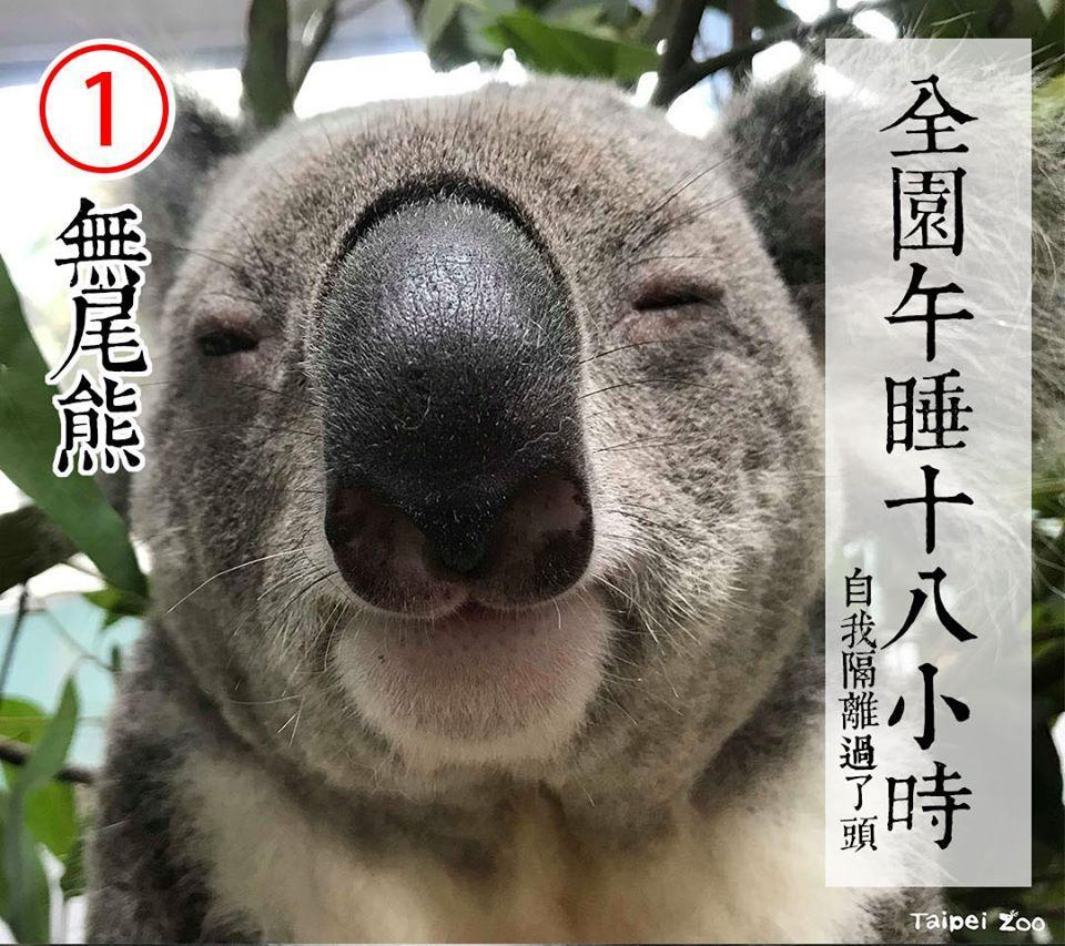 熱門候選人包括一號的可愛無尾熊 | No. 1 candidate is a cute and cuddly koala (FB/Taipei Zoo)