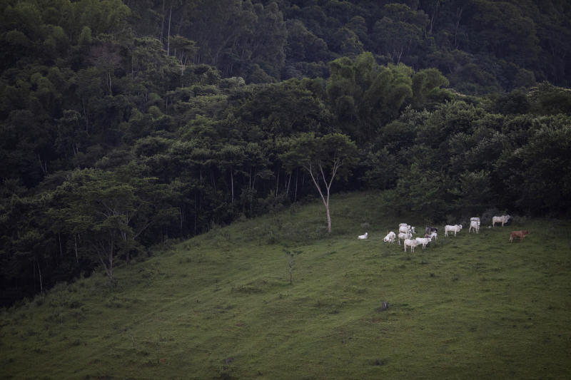 Cattle graze next to a fragment of the Atlantic Forest in Silva Jardim, Brazil, Thursday, April 18, 2019. (AP Photo/Leo Correa)