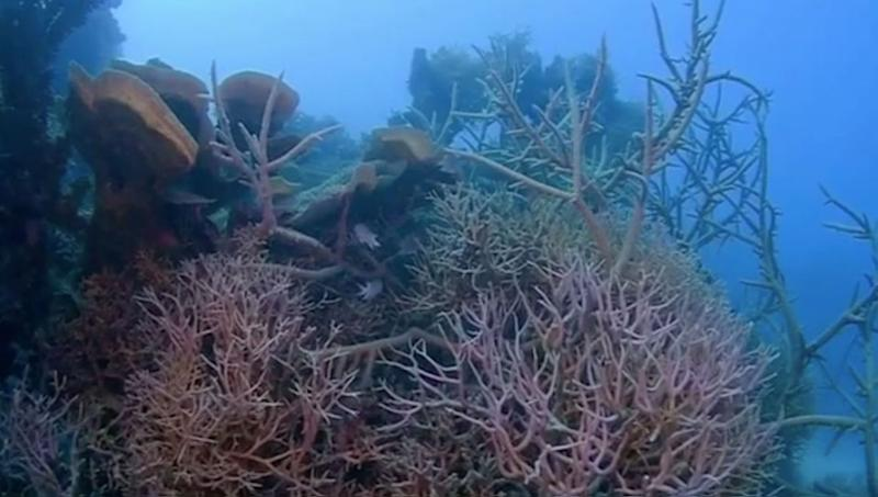 The coral has been protected by lagoon walls and withstood recent cyclones. Source/@johnny_gaskell