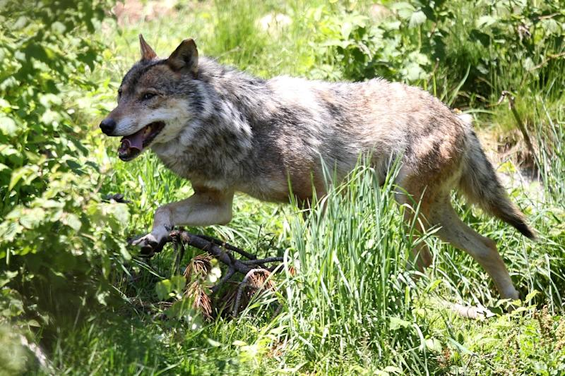 Overhunting, industrialisation and urban sprawl progressively led to the disappearance of the wolf from most of Western Europe since the beginning of the 20th century