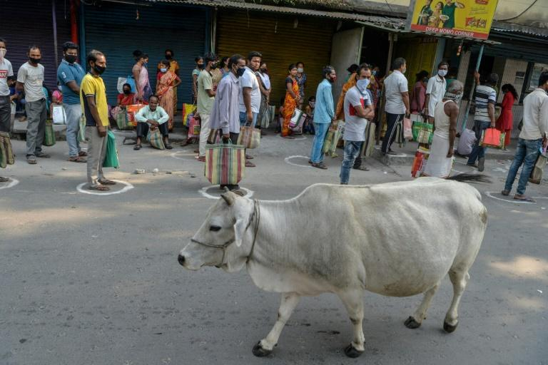 No bull: India claims cow dung chip protects against radiation