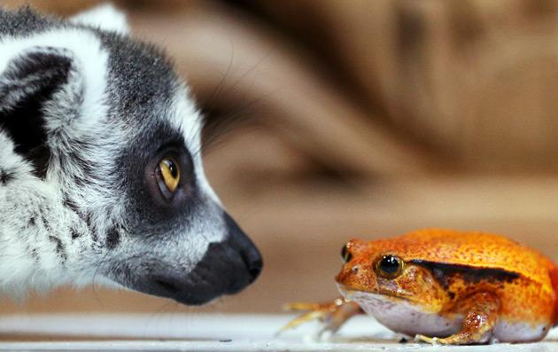 A ring-tailed lemur (L, Lemur catta) sniffs at a tomato frog (Dyscophus antongilii) during an animal inventory on December 27, 2012 at the Tierpark Hagenbeck zoo in Hamburg, northern Germany. During the annual inventory, all animals are counted, weighed and measured. AFP PHOTO / CHRISTIAN CHARISIUS
