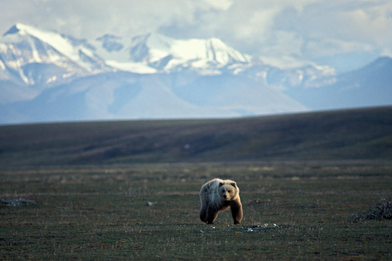 A grizzly bear walks across tundra in the 1002 area of the Arctic National Wildlife Refuge.  (Chlaus Lotscher via Getty Images)