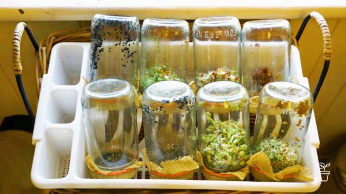 Sprouts growing in jars at home