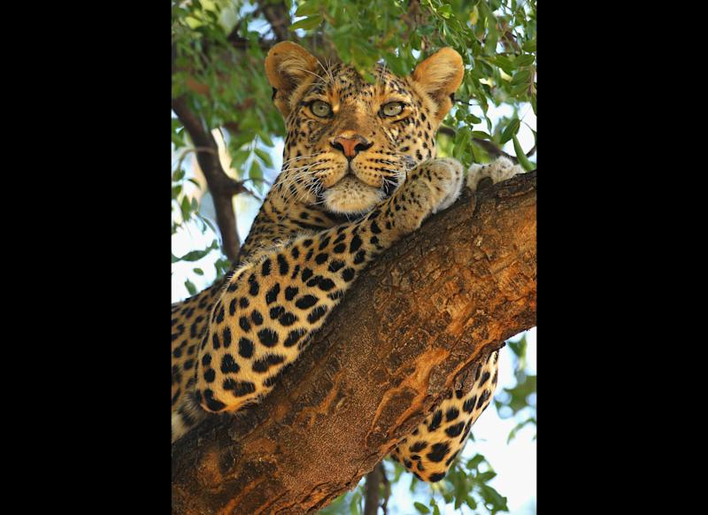 A leopard looks out from a tree at Mashat. <em> Photo by Cameron Spencer/Getty Images</em>