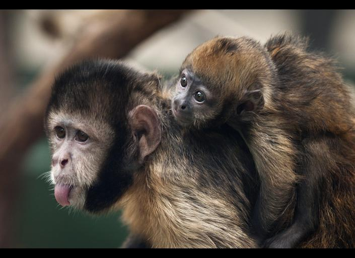 New-born golden-bellied capuchin named Pinu'u sits on the back of his mother Ibama in their enclosure in the Cologne zoo, Germany, Thursday Aug. 11. 2011. Pinu'u was born on July 4, 2011.