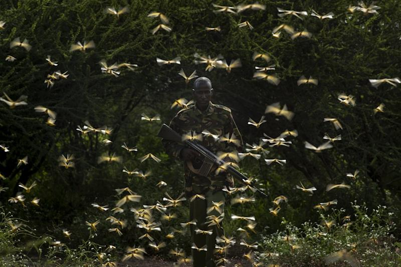 Ranger Gabriel Lesoipa is surrounded by desert locusts