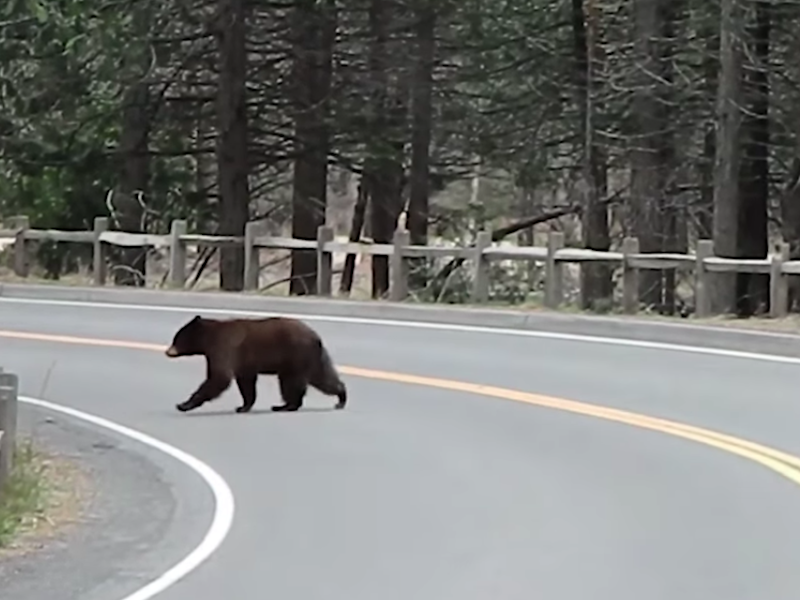 A bear crosses an empty, unused road in Yosemite National Park as wildlife begin to venture into more open spaces in the absence of humans: Yosemite National Park