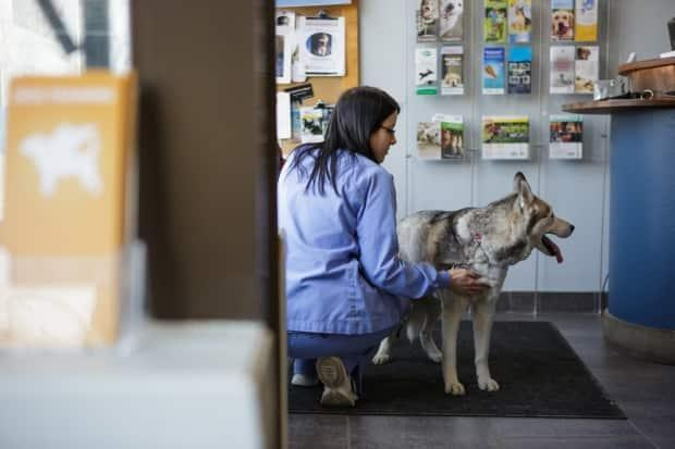 It could take longer for pets to get medical care in Alberta due to a shortage of veterinarians. (Katherine Holland/CBC - image credit)