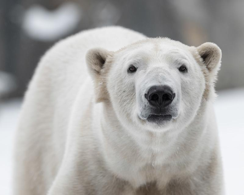 0a49e74d8c2fa This Is How Many Polar Bears Are Left in the World