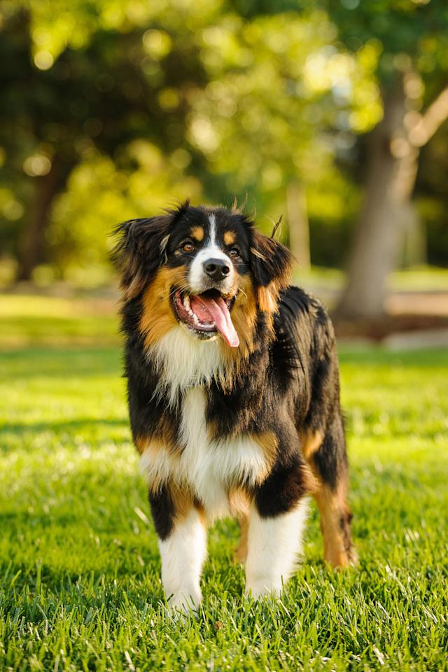 """<p>Originally a working breed found on Swiss farms, the <a rel=""""nofollow"""" href=""""http://www.goodhousekeeping.com/life/pets/advice/g1737/largest-dog-breeds/?slide=3"""">gentle giants</a> now work well with young families thanks to their even-keeled nature. They will play favorites though, often becoming attached to one person in particular. </p>"""