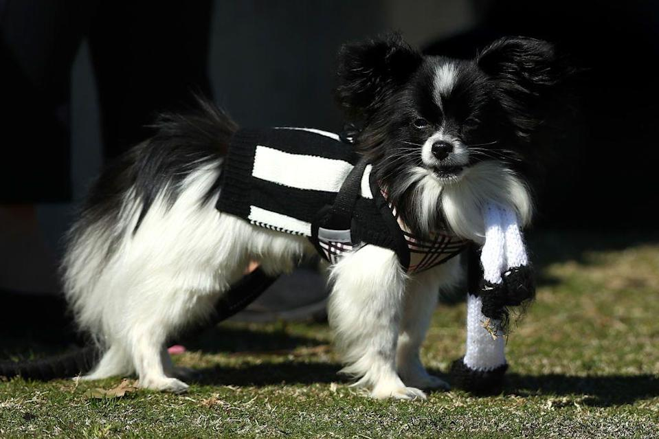 <p>Papillons get their name (which means butterfly in French) from their big, winged ears that you can spot from a mile away. These pups are known for being happy, alert, and friendly.<strong><br></strong></p><p><strong>Weight: 5-10 pounds</strong></p>