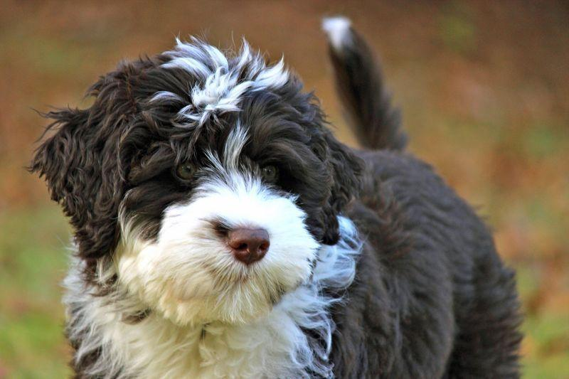 """<p>Portuguese Water Dogs have become a popular option for allergy sufferers. In fact, the former first-dogs of the United States, <a href=""""https://www.bornfreepetfood.com/2019/02/12/hypoallergenic-dogs-give-all-the-love-without-all-the-sneezing-and-wheezing/"""" rel=""""nofollow noopener"""" target=""""_blank"""" data-ylk=""""slk:Bo and Sunny Obama"""" class=""""link rapid-noclick-resp"""">Bo and Sunny Obama</a>, were Portuguese Water Dogs, and they were chosen because of Malia Obama's allergies. According to the AKC, Portuguese Water Dogs are smart and eager to please, which makes them easy to train.</p>"""
