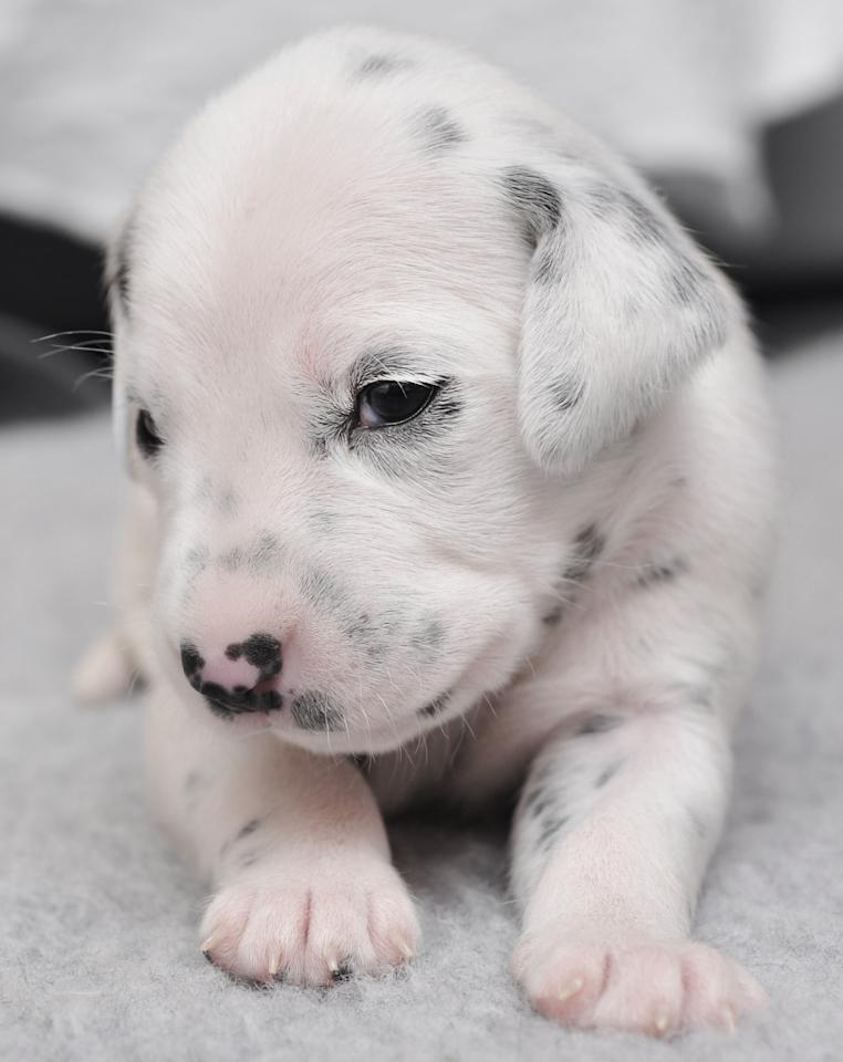 Dalmatian: Dalmatian puppies are born with pure white fur. Their iconic black spots don't begin to appear until they are about ten to fourteen days old.