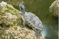 """<p>The <a href=""""https://www.tortoise.com/"""" rel=""""nofollow noopener"""" target=""""_blank"""" data-ylk=""""slk:American Tortoise Rescue"""" class=""""link rapid-noclick-resp"""">American Tortoise Rescue</a> explains """"When water turtles hibernate under water for months, they breathe through their butts.""""</p>"""