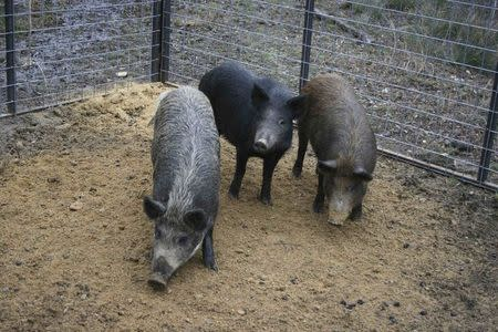 Feral swine are pictured in this undated handout from the U.S. Department of Agriculture, Animal and Plant Health Inspection Service. REUTERS/USDA APHIS/Clint Turnage/Handout via Reuters