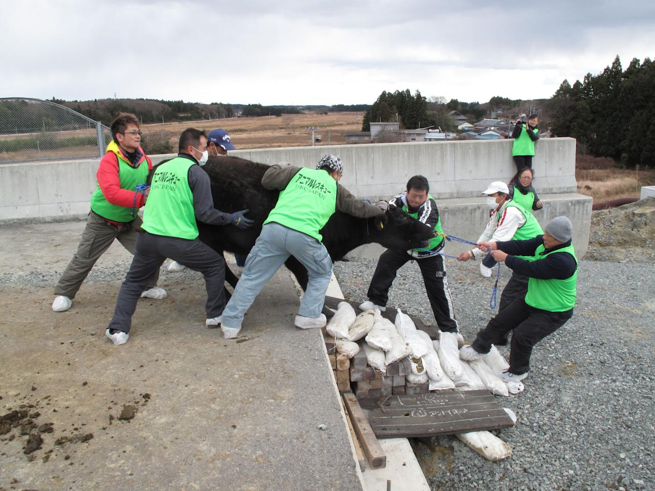 A cow which escaped from a farm is removed from a highway by members of United Kennel Club Japan (UKC Japan) in Namie town, where is inside the exclusion zone of a 20km radius around the crippled Fukushima Daiichi nuclear power plant, December 25, 2011, in this handout photo relased by UKC Japan. Dogs and cats that were abandoned in the Fukushima exclusion zone after last year's nuclear crisis have had to survive high radiation and a lack of food, and they are now struggling with the region's freezing winter weather. A 9.0-magnitude earthquake and massive tsunami on March 11 triggered the world's worst nuclear accident in 25 years and forced residents around the Fukushima Daiichi nuclear power plant to flee, with many of them having to leave behind their pets. Picture taken December 25, 2011.  REUTERS/UKC Japan/Hanout (JAPAN)