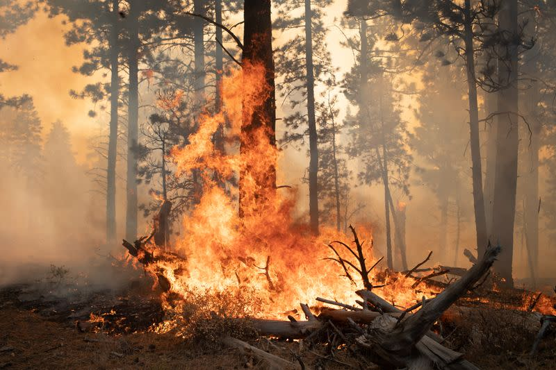 Trees are ablaze from the Brattain Fire in the Fremont National Forest near Paisley, Oregon