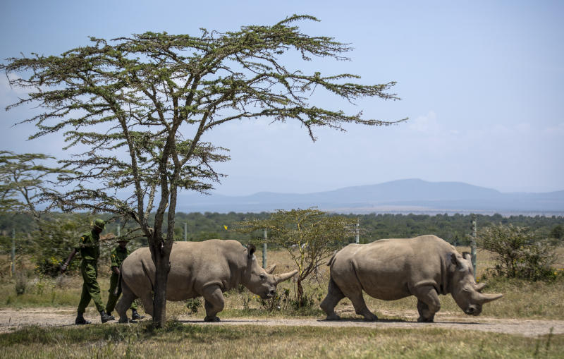 Female northern white rhinos Fatu, 19, left, and Najin, 30, right, the last two northern white rhinos on the planet, graze in their enclosure at Ol Pejeta Conservancy, Kenya Friday, Aug. 23, 2019. Wildlife experts and vets say there is hope for the northern white rhino which is on the verge of extinction, after they successfully managed to draw eggs Thursday from the last two of the species, hoping they can be used to reproduce the species through a surrogate. (AP Photo/Ben Curtis)