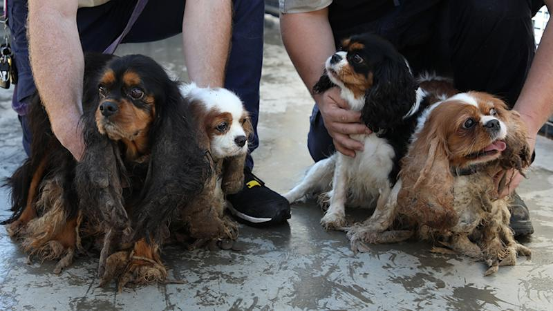 The four Cavalier King Charles Spaniels rescued by the RSPCA in South Australia.