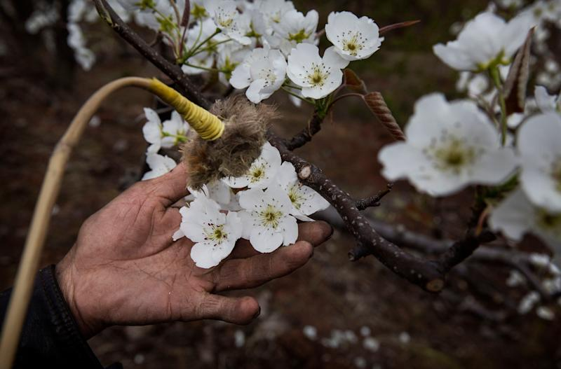 A Chinese farmer hand pollinates flowers on a pear tree. Heavy pesticide use on fruit trees in the area caused a severe decline in wild bee populations, and trees are now pollinated by hand in order to produce better fruit. (Photo: Kevin Frayer via Getty Images)