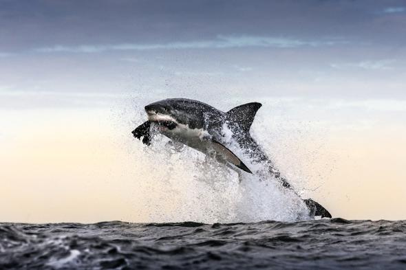 *** EXCLUSIVE ***FALSE BAY, SOUTH AFRICA - UNDATED: A great white shark breaches and takes a decoy seal off in False Bay, South Africa. A GREAT white shark launches itself clear out of the water to snatch a snack - a helpless seal. The dramatic shots of several sharks breaching at Seal Island, off the coast of Cape Town, South Africa, were captured by wildlife photographer Chris McLennan. Chris witnessed 28 predations in a single hour in the shark infested waters.PHOTOGRAPH BY Chris McLennan / Barcroft MediaUK Office, London.T +44 845 370 2233W www.barcroftmedia.comUSA Office, New York City.T +1 212 796 2458W www.barcroftusa.comIndian Office, Delhi.T +91 11 4053 2429W www.barcroftindia.com