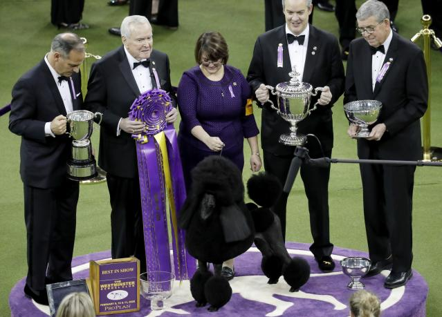 Siba the standard poodle poses for photos after winning Best in Show at the 144th Westminster Kennel Club Dog Show Tuesday, Feb. 11, 2020, in New York. (AP Photo/Wong Maye-E)