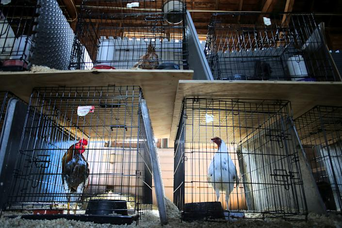 METHUEN, MA - MAY 29: Birds rest in their cages at the MSPCA-Nevins Farm in Methuen, MA on May 29, 2018. Nearly 400 fighting roosters were rescued from a Northampton property late last week and brought to the farm. The birds are extremely aggressive and must be housed individually. They cannot be rehabilitated or re-trained and nearly all of them will have to be euthanized. The MSPCA cannot place them into homes as they would kill or attack any other bird (or other animals) that are nearby. (Photo by Lane Turner/The Boston Globe via Getty Images)