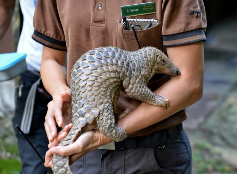 A baby Sunda pangolin nicknamed 'Sandshrew' is taken out for feeding by Serena Oh, assistant director and head vet of Veterinary Services in Wildlife Reserves Singapore, at the Singapore Zoo on June 30, 2017.Sandshrew was brought to the Wildlife Health and Research Centre on January 16, reportedly found stranded in the Upper Thomson area by a member of the public. Sunda pangolins are listed as critically endangered by the International Union for Conservation of Nature (IUCN)